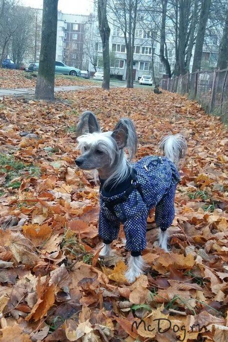 """Китайская хохлатая собака в комбинезоне """"Фиолетовые пиксели"""" на зимнем флисе"""