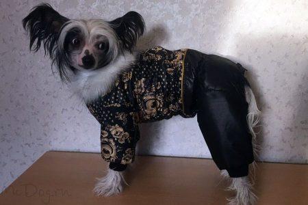 """Китайская хохлатая собака в комбинезоне """"Золотая роспись с чёрным"""", подклад синтепон ???"""