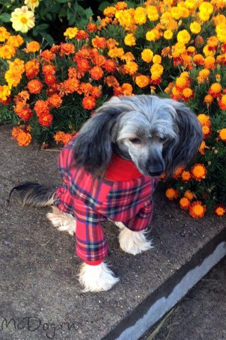 Китайская Хохлатая Собака в зимнем флисовом комбинезоне McDog «Красная клетка»