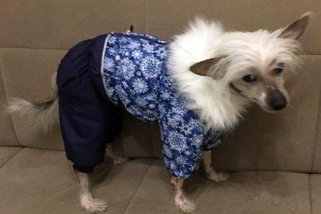 """Китайская хохлатая собака в комбинезоне """"Голубые снежинки с синим""""❄❄❄"""