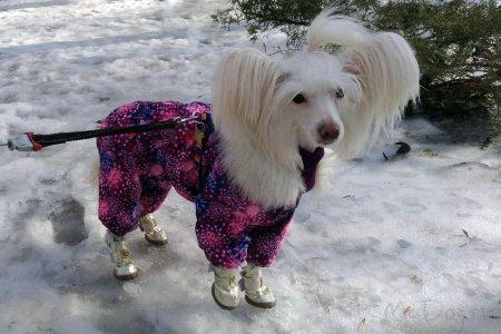 Китайская хохлатая собака в комбинезоне «Розовый салют»🌸