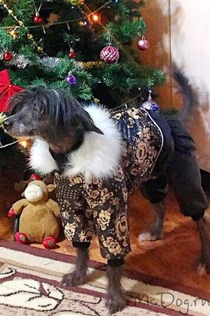 Китайская Хохлатая Собака в комбинезоне McDog