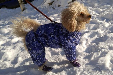 Собака Пудель в комбинезоне McDog