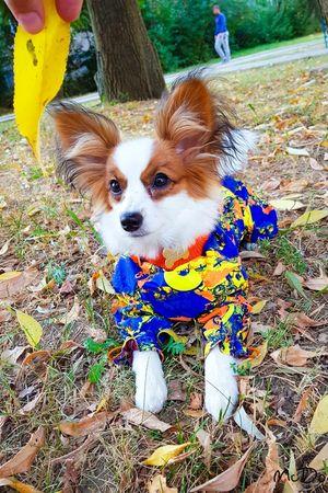 Папильоны в одежде для собак McDog.ru