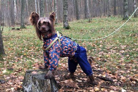 """Китайская хохлатая собака в дождевике из плащевки """"Лиса с синим"""" на подкладе из флиса"""