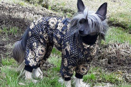Китайская хохлатая собака в комбинезоне «Золотая роспись»🌔