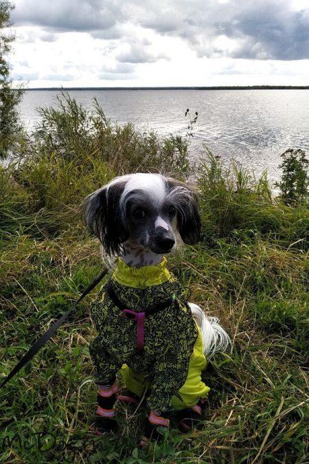 """Китайская Хохлатая собака в комбинезоне McDog """"Алфавит с желтым"""" на кнопке"""