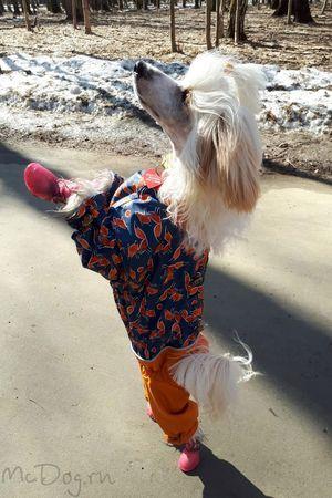 """Китайская хохлатая собака в дождевике """"Лиса с апельсином"""" ?"""