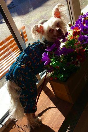 """Китайская хохлатая собака Йошико в дождевике из плащевки """"Морская"""""""
