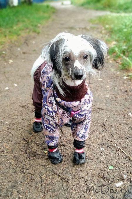 Китайская хохлатая собака в дождевике «Огурцы какао с коричневым»