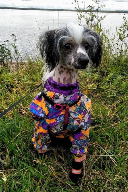 """Китайская Хохлатая Собака в мембранном комбинезоне McDog """"Фиолетовый Urban с фиолетовым"""""""