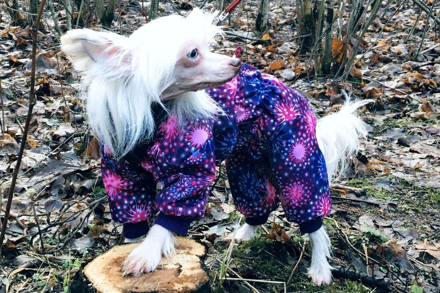 Китайская хохлатая собака в мембранном комбинезоне «Розовый салют»