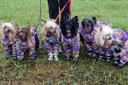 Китайские хохлатые собаки в одежде Mcdog.ru