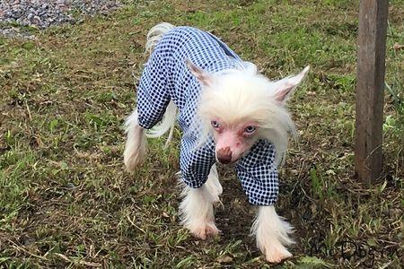 Купить Одежду для китайских хохлатых собак в интернет магазине Mcdog.ru