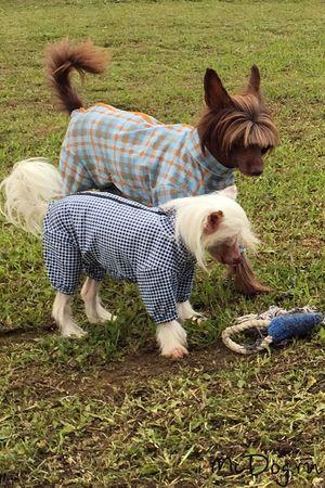 Одежда для китайских хохлатых собак в интернет магазине Mcdog.ru