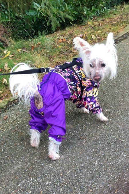 """Китайская хохлатая собака в дождевике """"Надпись с сиреневым""""☔"""