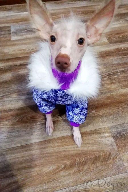"""Китайская хохлатая собака Чуня в комбинезоне """"Фиолетовые снежинки"""" ❄❄❄"""